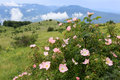 Dog rose bush in mountains Royalty Free Stock Photo