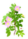 Dog-rose with green leafs and pink flowers Stock Images