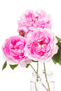 Dog rose pink flowers isolated on a white background Royalty Free Stock Images