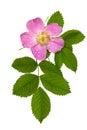 Dog Rose, Rosa Canina
