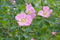 Dog rose Rosa canina flowers with water drops Stock Photography