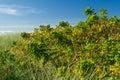 Dog rose shrubs at seaside Stock Image
