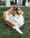 Dog Rough Collie