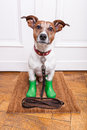 Dog rubber rain boots with green waiting to go walkies in the and cold weather Stock Photography