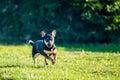 Dog run in meadow Royalty Free Stock Photo