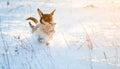 Pes běžet v zimě sníh