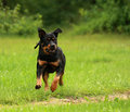 Dog running Royalty Free Stock Photo