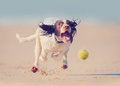 Dog running after ball Royalty Free Stock Photo