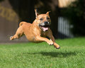 Dog running and leaping healthy on green grass Royalty Free Stock Photos