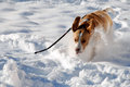 Dog running in snow Stock Image