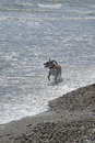Dog running in Surf Royalty Free Stock Images