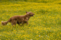 Dog running trough buttercup field Stock Photos