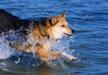 Dog running in the water Royalty Free Stock Photos