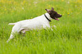 Dog runs on a green grass horizontal Royalty Free Stock Image