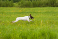 Dog runs on a green grass horizontal Stock Image