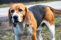 Dog`s eyes Beagle