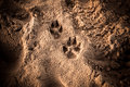 Dog s foot prints in sand the Royalty Free Stock Photography