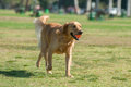 Dog s most prized possession golden retriever walking across the park with ball in mouth Stock Photos