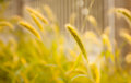 Dog's tail grass Stock Images