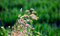 Dog s tail grass in the field Stock Photo