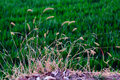Dog s tail grass in the field Royalty Free Stock Photo