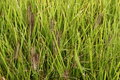 Dog s tail grass local details of the Royalty Free Stock Photo