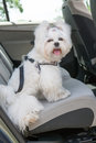 Dog safe in the car small maltese sitting on back seat a safety harness Royalty Free Stock Photo