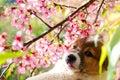 Dog and Sakura flower Royalty Free Stock Photo