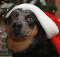 Dog in santa hat blue heeler looking worried Stock Image