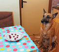 Dog and sausage sitting on the chair looking on the plate with Royalty Free Stock Photos