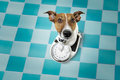 Dog on scale on a diet Royalty Free Stock Photo