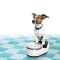 Dog on scale , with overweight and guilt Royalty Free Stock Photo