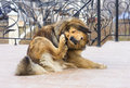 Dog scratching flea tibetan mastiff Stock Image
