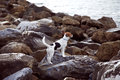 A dog at sea breed jack russell on the rocks on the beach looking the Stock Photography