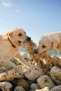stock image of  Dog, sea, ocean, labrador, breed, fight, training, game, animal, rock