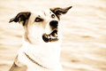 Dog at the sea portrait sepia image Royalty Free Stock Image