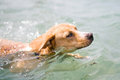 Dog in the sea red swims Stock Images