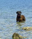 Dog in the sea with rocks friendly looking brown blue maltese Stock Image