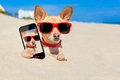 Dog selfie buried in sand chihuahua a hole the at the beach on summer vacation holidays wearing red sunglasses while taking a Stock Photo