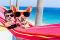 Dog selfie hammock chihuahua relaxing on a fancy red taking a and sharing the fun with friends on summer vacation holidays Royalty Free Stock Image