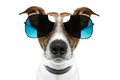 Dog in shades Royalty Free Stock Photo