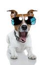 Dog in shades Stock Photography