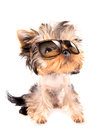 Dog with shades baby fashion on a white background Royalty Free Stock Image