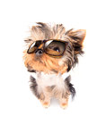 Dog with shades baby fashion on a white background Stock Image