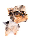 Dog with shades baby fashion on a white background Stock Images