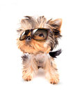 Dog with shades baby fashion on a white background Stock Photo