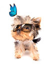 Dog with shades and blue butterfly baby fashion on a white background Stock Image