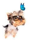 Dog with shades and blue butterfly baby fashion on a white background Royalty Free Stock Photos