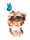 Dog with shades and blue butterfly baby fashion on a white background Stock Photo