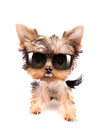 Dog with shades very angry fashion on a white background Stock Image